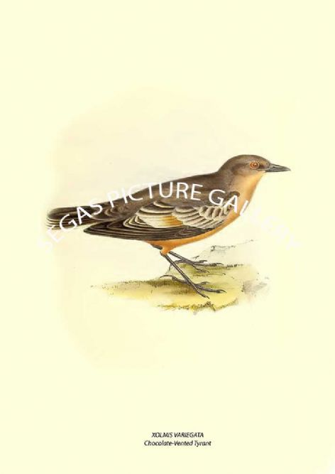 Fine art print of the XOLMIS VARIEGATA --- Chocolate-Vented Tyrant  by John Gould (1841)